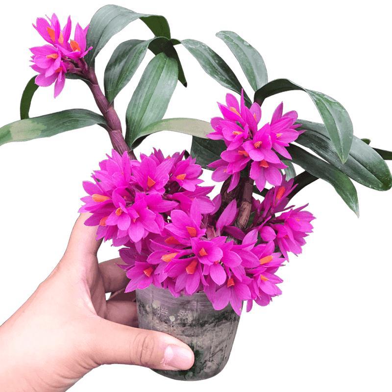 红莲石斛花卉铁皮石斛兰苗纯种