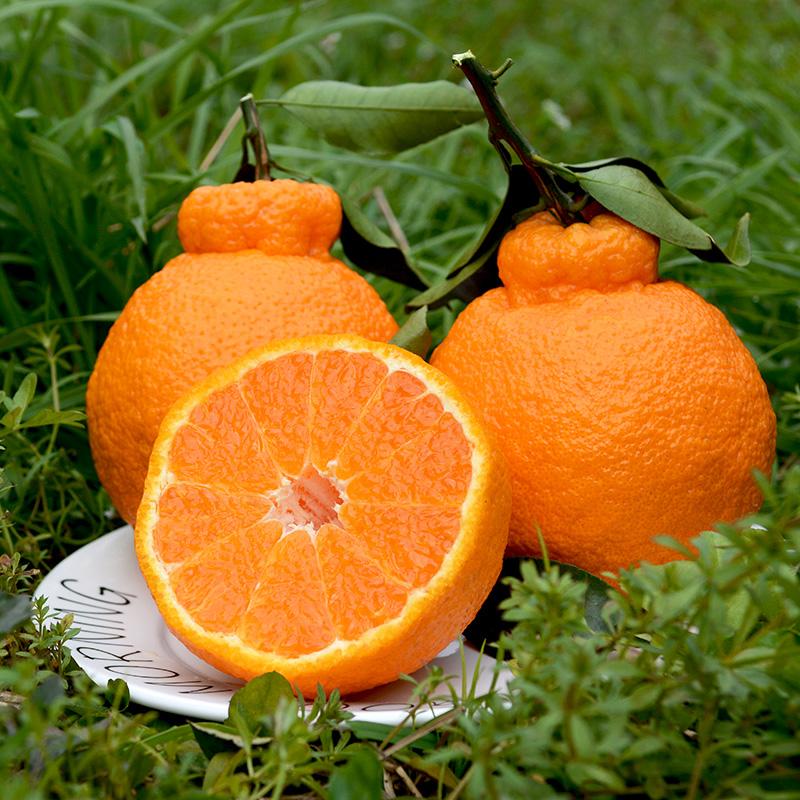 [正宗]不知火丑橘10斤整箱