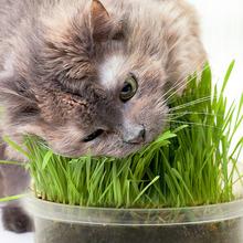 买一送一需拍两件 猫草种子套装去毛球天然大麦种子猫咪零食包邮