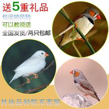 说话鸟宠物鸟活体珍珠鸟观赏鸟小鸟活体手养手玩鸟包活送运输笼子