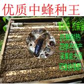 蜂王活体 中蜂蜂王 中蜂王 种蜂王 蜜蜂蜂王活体 产卵新蜂王