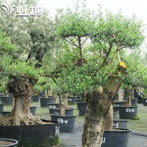 虹越 西班牙进口 大树油橄榄容器苗园林景观绿化优质树种限江浙沪