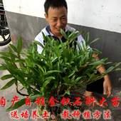 正宗贵州赤水新鲜金钗石斛野生盆栽大苗石斛兰花比铁皮好一斤包邮