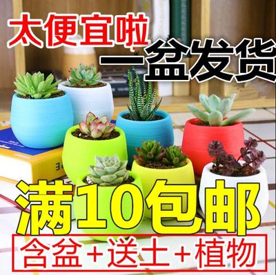 【天天特价】多肉植物组合含盆带土 仙人球盆栽吉娃娃观音莲包邮