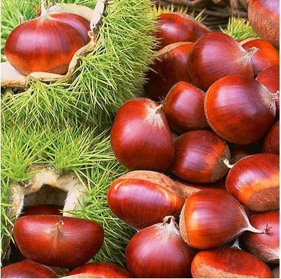 包邮 盆栽-地栽板栗苗果树苗 嫁接板栗树苗 当年结果 南北方种植