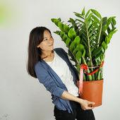 龙凤木 金钱树 观叶植物 室内办公室客厅 中大型盆栽绿植绿花卉