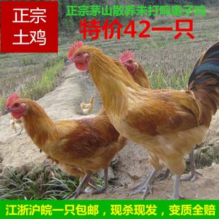 易畅牧业原生态散养土鸡有机新鲜活鸡现杀童子鸡小公鸡营养无激素