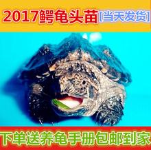 2017活体北美小鳄龟苗 水龟宠物乌龟 小鳄龟活体鳄鱼龟杂佛鳄龟