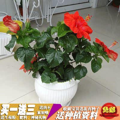 盆栽花卉黄色扶桑苗红色扶桑花苗蔷薇 大花重瓣朱槿牡丹芙蓉花