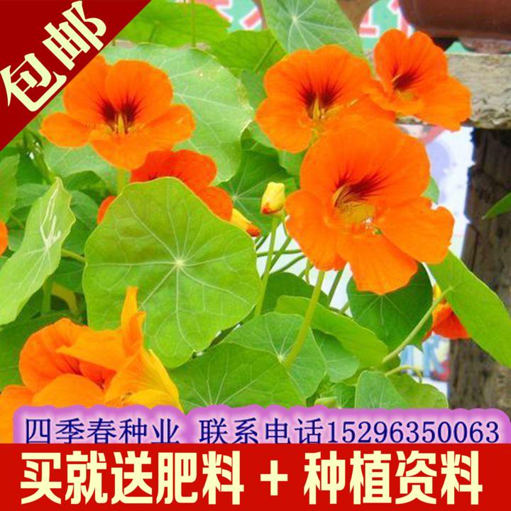 旱金莲种子 旱荷花种子 金莲花 室内阳台盆栽花卉种子四季易种