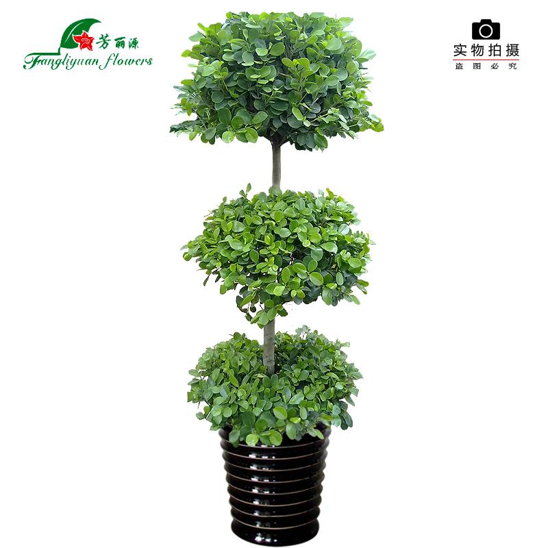 芳丽源金钱榕树盆栽室内吸甲醛绿植净化空气花卉办公室大型植物