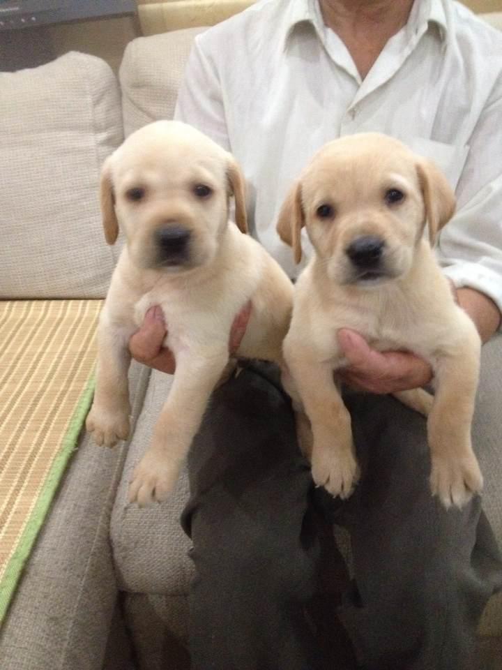出售纯种奶白色拉布拉多犬 支持上门看狗/完全真实照片