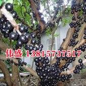 果树苗 当年结果 盆栽 台湾树葡萄嘉宝果 葡萄苗葡萄树苗