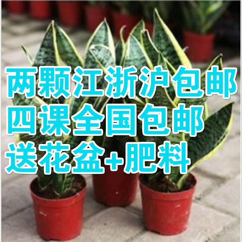 两颗包邮室内桌面客厅盆栽花卉 吸甲醛植物 虎皮兰 办公室 防辐射