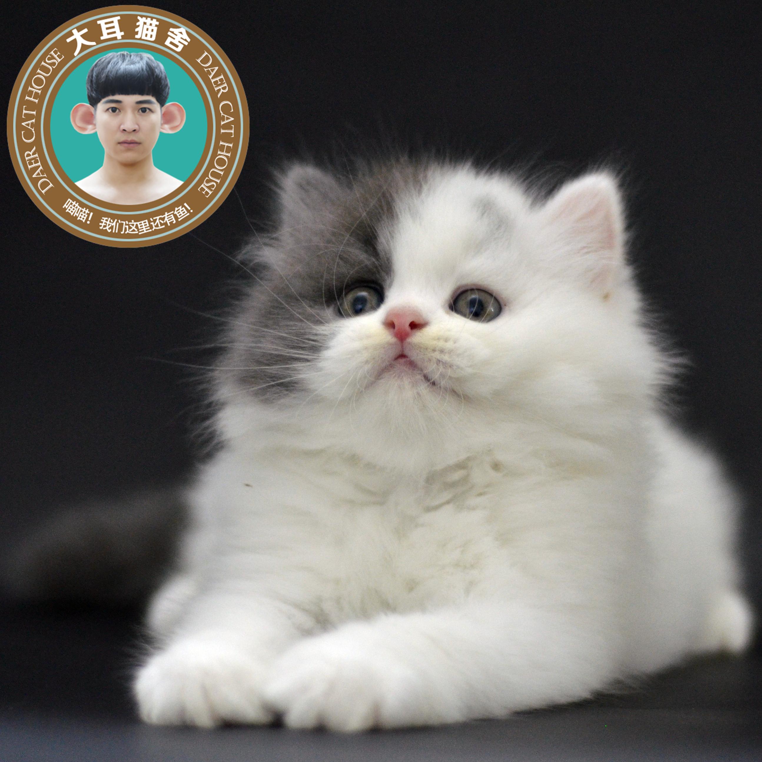 净梵长毛新款短毛猫咪活体黑白甜美可爱公纯种猫舍猫