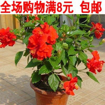 花卉盆栽扶桑花苗吊兰牡丹 重瓣大苗 盆景室内阳台办公室植物包邮