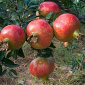 石榴树苗南方北方种植盆栽无籽番石榴庭院地栽牡丹红花软籽甜结果
