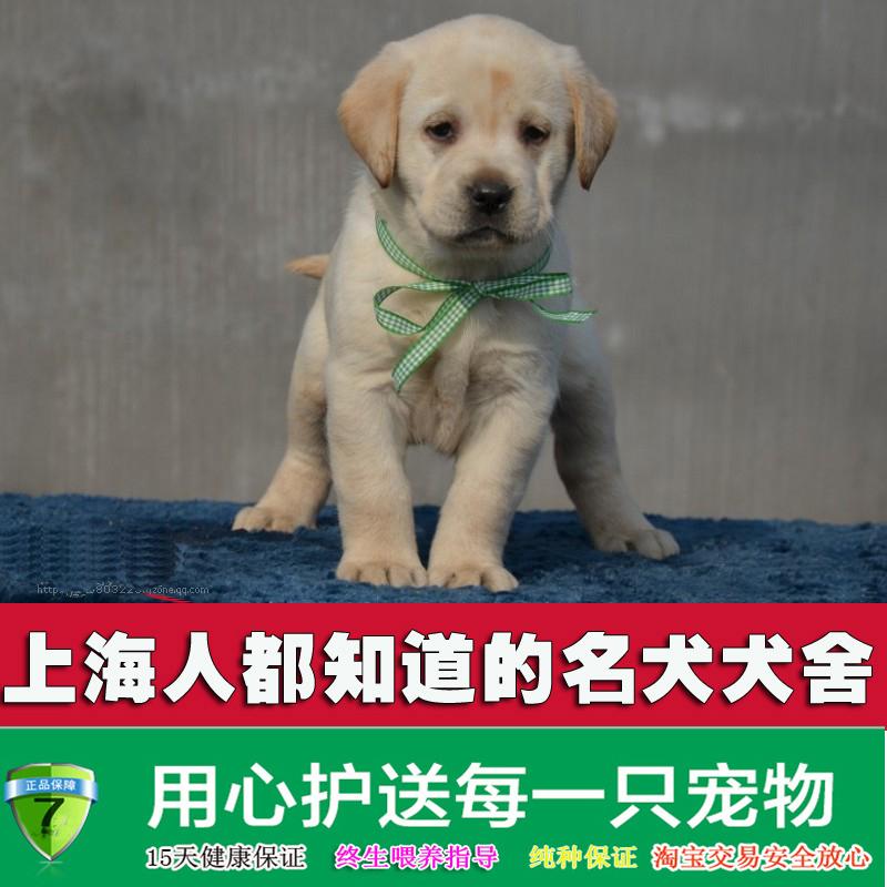 上海易宠 人气纯种拉布拉多犬幼犬 家养中大型犬工作宠物狗伴侣犬图片