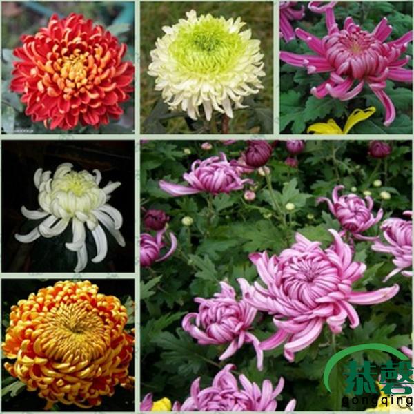 菊花苗包邮 大菊花盆栽室内外庭院阳台花卉绿植物四季开花菊花苗