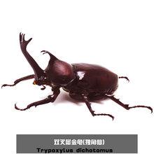 活体 新手套餐 包活 2018 甲虫 独角仙成虫 一公一母 幼虫 热门