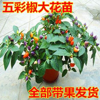 五彩椒盆栽苗 观赏椒七彩椒食用