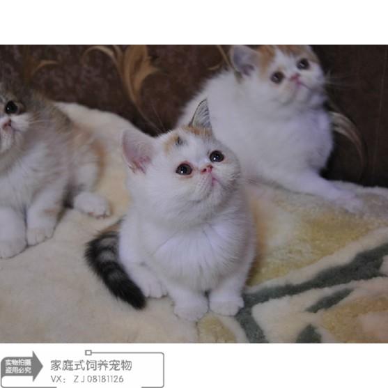 加菲猫纯种宠物猫活体家养猫咪幼崽异国短毛猫加菲猫小奶猫活体
