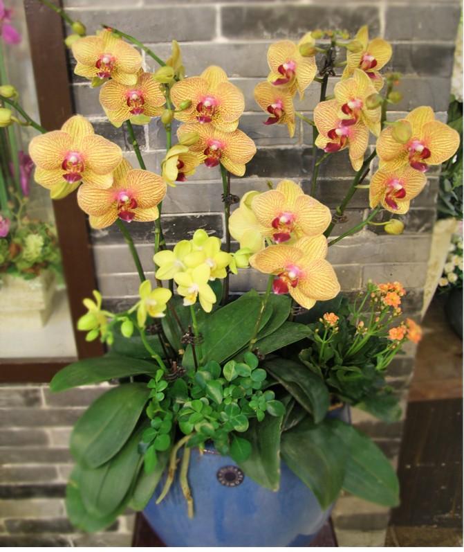 台湾蝴蝶兰组合开业祝贺乔迁花卉绿植春节新年鲜花礼品促销