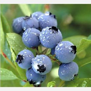 越南直销蓝莓 420g