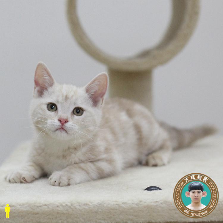 给美短标斑补充营养猫的方法有哪些?