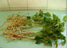 贵州折耳根 野生鱼腥草 清香野菜 抵抗流感真空包装 保证新鲜