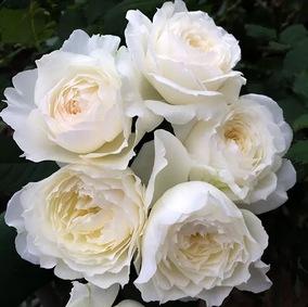 天心月季园 日月月季 雪野一梦/奶油泡芙/踏雪 白色强香开花大花
