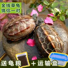 乌龟活体宠物龟草龟苗外塘金线草龟中华草龟水陆招财龟一只包邮