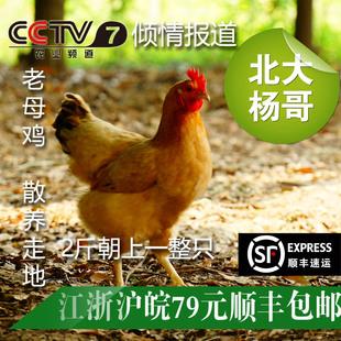 北大杨哥玉米青菜生态散养走地草土鸡炖汤老母鸡一整只两斤朝上