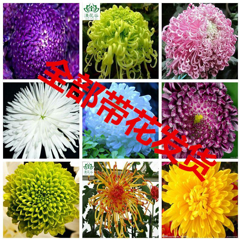 菊花苗包邮 大菊花盆栽室内外庭院阳台花卉绿植物菊花苗带花发货