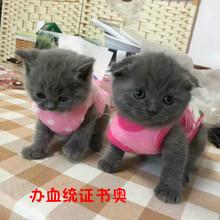 低价加菲猫折耳猫暹罗猫蓝猫 波斯猫活体 宠物猫咪活体英短幼猫