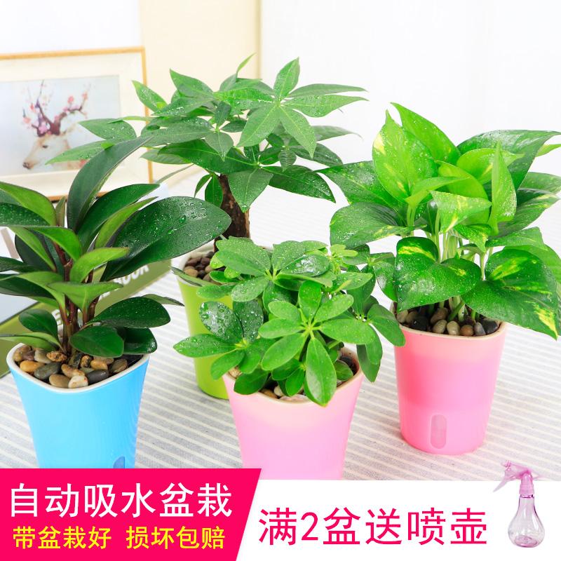发财树绿萝袖珍椰子碧玉办公室内水培花卉绿植盆景小