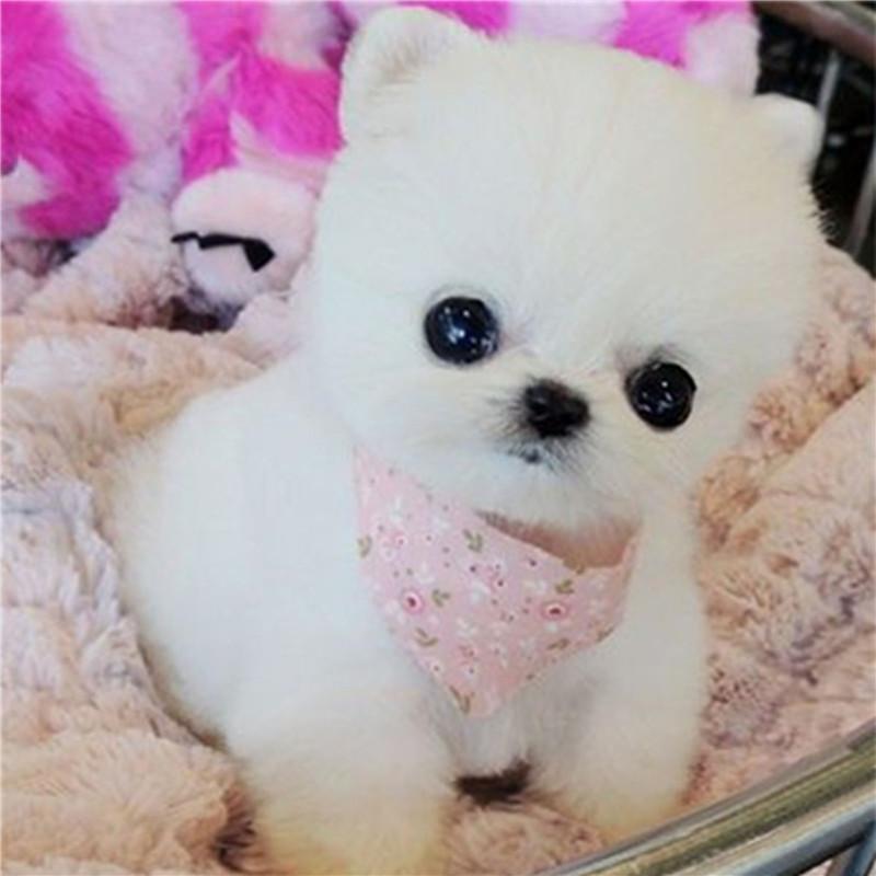 可爱长不大博美幼犬 茶杯杯子小型犬宠物小狗狗活体包纯种袖珍犬