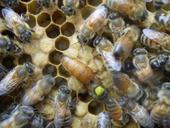 蜂王传说 意蜂蜂王 金喀处女王 蜜蜂种蜂王 蜂群种王生产王产卵王
