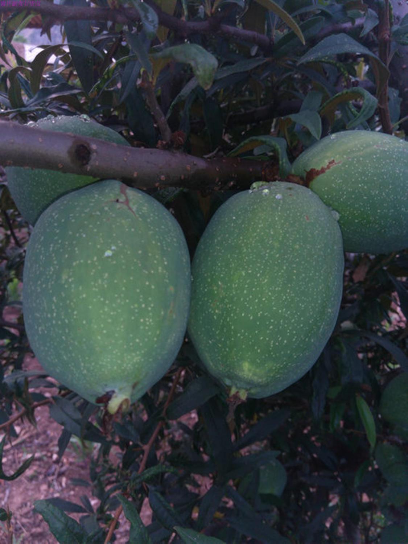 现摘酸木瓜云南特产大理白花木瓜农家农家白木瓜新鲜水果木瓜500g