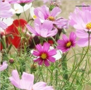 花种子 花卉种子 波斯菊种子 阳台盆栽/阳台易种/50粒