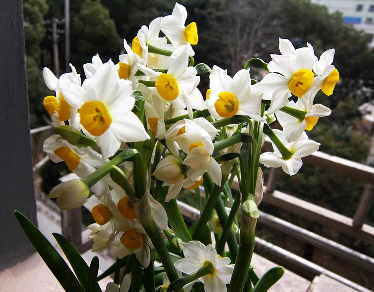 花种子水仙花种球大种球 室内盆栽 桌面水培植物绿植
