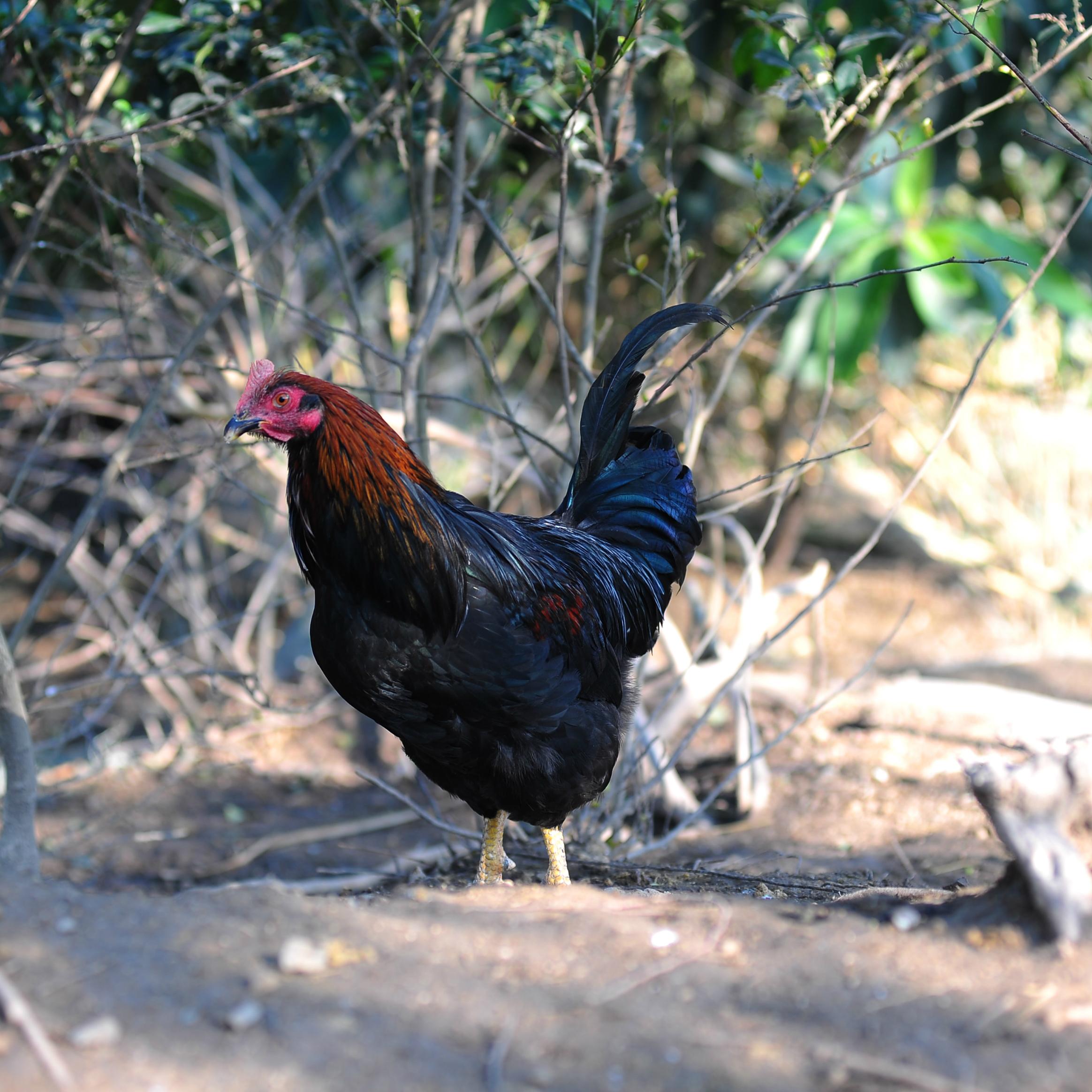 【吃鸡网松鼎山鸡】单件1600g土鸡总统鸡 无激素鸡 散养鸡 冷鲜鸡