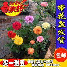 玫瑰花苗四季开花大花绿植物盆栽室内外花卉观花庭院阳台蔷薇月季