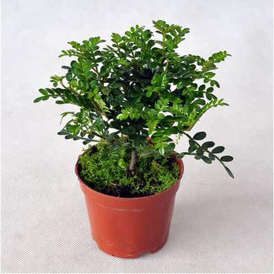 室内绿植 清香木 盆栽花苗四季长青 自然清香 吸甲醛 净化空气